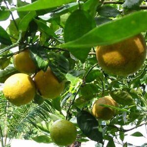 Citrus aurantium / Citron Bigarade - lot de 10 graines