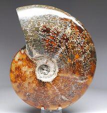 848 Gram Whole Ammonite Polished Fossil Specimen  rcz82