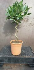 A Pair (2) Standard Bay Tree 80cm Tall with  twisted stem . Laurus Nobilis