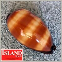 Cypraea talpa #3 68.7mm GORGEOUS BEAUTY from the Philippines