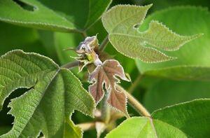 Pflanzen Samen Garten Sämereien Baum PAPIER-MAULBEERE