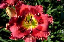 Daylily Seeds (Crimson Dragon x Royal Rumba) (12) Seeds