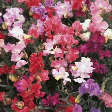 Sweet Pea-Perfume Delight - 40 Semillas