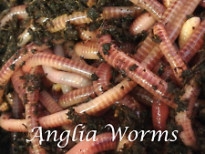 100g Fresh Dendrobaena Worms, Fishing Bait, Composting, Live food, Reptiles