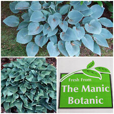 HOSTA bleu cadet-Shade Loving, Cottage Garden Patio conteneur
