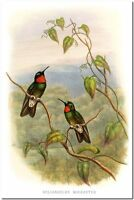 "Vintage Hummingbird Art John Gould CANVAS PRINT~ Heliangelus Micraster 36x24"""
