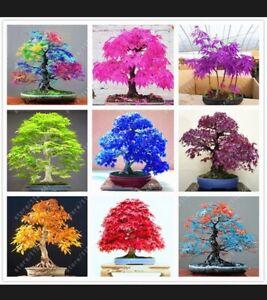 Japanese Maple Bonsai Trees Seeds, Home Garden Maple Tree, UK Stock