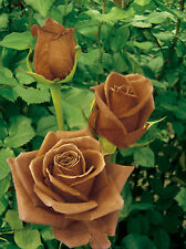 300 seeds of Brown Rose flowers coffee chocolate roses grow with lily clematis