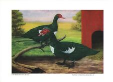 Colored Muscovy Ducks by LA Stahmer 1929 Poultry Tribune Supplement Reprint