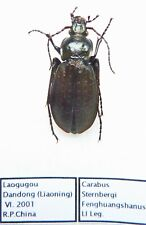 Carabus carabus sterbergi fenghuangshanus (female A1) from CHINA