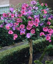 Hibiscus syriacus, Althaea, Rose of Sharon 10 Hibiscus color mix seeds