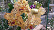 Orchid Vanda Sanchai Gold Spot near spike bloom Exotic Tropical Plant