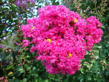 "40 seeds of Crepe Crape Myrtle Raspberry Sundae, ""Hot Pink"" Red color"