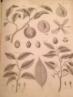 Botanical, Nutmeg, Myristica Moschata, Spice, Vintage 1800s Antique Art Print.