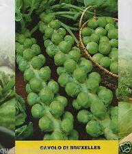 500 semi di cavolo di bruxelles- cavoletti - cavoli- brassica oleracea gemmifera