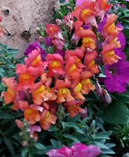 300 Bright Pink Orange Snapdragon Seeds Usa
