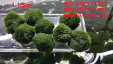 "1.5"" Marimo Moss ball Freshwater for aquarium planted tank BUY 2 GET 1 FREE"