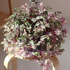 Tradescantia Fluminensis Tricolor Minima – Maidens Blush – 1 x cutting Rooted