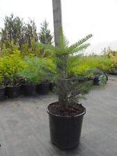 H7 (< -20 ° C) Hardiness Rating (RHS) Conifers
