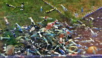 10+1 Mixed Color Freshwater Shrimp Caridina. Homebred, Live invertebrate