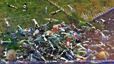 10+1 Mixed Color Freshwater Shrimp Caridina. Homebred, Live invertebrate