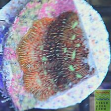 """New listing Saf~Green Pavona """"Cactus� Coral """"Wysiwyg� Sps, Lps, Saltwater, Colony,Live Coral"""