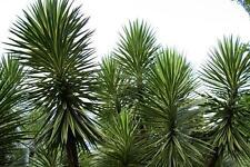 Spanish Bayonet  (Yucca aloifolia)  20 Seeds