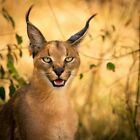 Caracal Cat tanned skin #1