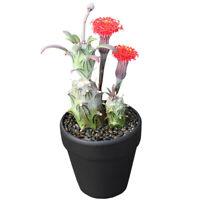 Senecio mweroensisssp.saginatus Succulent potted will flowering plants high 4cm