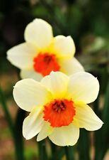 Usa-100pcs flower daffodil seeds (not daffodil bulbs) aquatic plants Narcissus