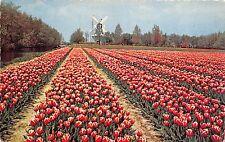 B94960 windmill mill de bloemenvelden in bloei bulb time  netherlands
