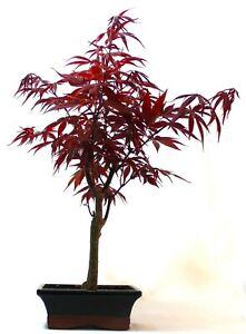 Japanese Maple Red leaf Bonsai - supplied in a 15cm ceramic pot