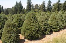 500 Scotch Pine Tree Seeds, Pinus sylvestris, Christmas Tree Seeds