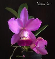 * Cattleya walkeriana ('Lavender' x sib) - Orchid Plant