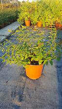 Hypericum Hidecote vaso 17 (OFFERTA 25 piante)