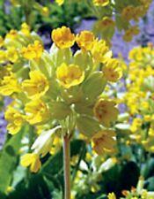 plants in 10cm pots x 3 NOT PLUGS! Cowslip Hardy Primula Veris