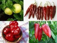 Ungarische Paprika aus 4 Sorten - Edelsüß - 40+ Samen FEINE SPEZIALITäTEN