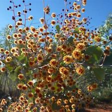 ACACIA inaequilatera Camel Bush seeds (A 28)