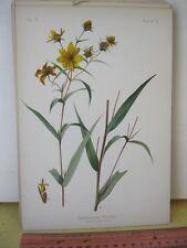 Vintage Print,GYMNOLOMIA PORTERI,Prang,Native Flowers+Ferns,Meehan,1879