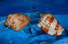 "TWO (2) 3"" to 4"" VOLUTA NOBILIS POLISHED SEA SHELLS NAUTICAL BEACH DECOR CRAFT"