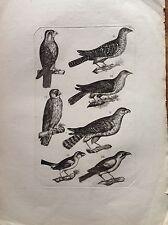 POIANA RAPACI incisione originale XVIII secolo Ornitologia studio Uccelli