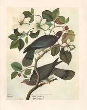 VINTAGE JOHN JAMES AUDUBON BIRD PRINT ~ BAND-TAILED PIGEON