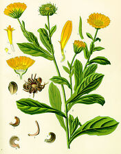 50 Semillas de Calendula (calendula Officinalis) seeds
