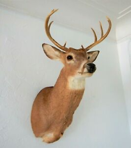 8 Point Whitetail Deer Shoulder Mount Taxidermy