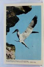 Canada Quebec Bonaventure Island Gannet Postcard Old Vintage Card View Standard