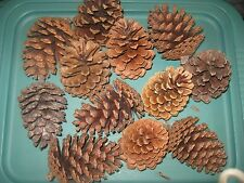 "TEXAS PINE CONES, MEDIUM (4"" TALL), SLASH OR LOBLOLLY, SET OF 12"