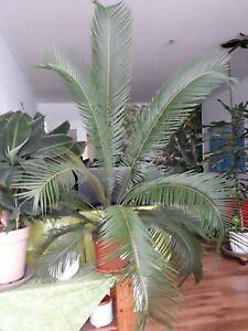 Cycas Revoluta Palme ca. 130 cm. hoch