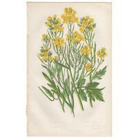Anne Pratt antique 1st ed 1860 botanical print, Pl 29 Mustard