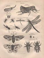 1890 Vittoriano Stampa ~ Naturale Storia Insetti ~ Diptera Lepidoptera