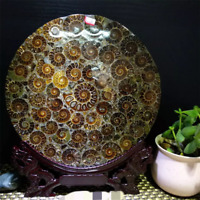 TOP! Half Cut Ammonite Shell Jurassic Fossil Disc with Stand Madagascar 240MM